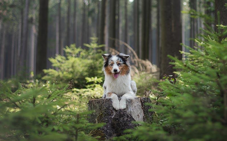 Stier: Australian Shepherd